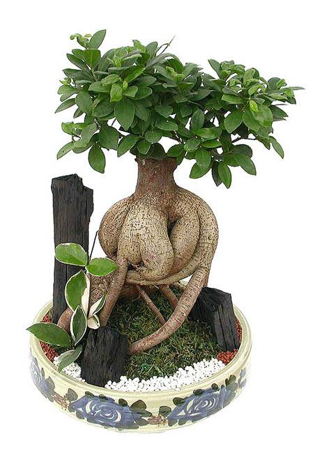 Sell Ficus Microcarpa Bonsai