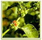 Herbs - salacia, Moringa, Guvva - Pappaya leaves