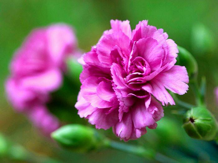 Carnation for sale with high quality and competitive prices