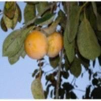 Botanical Complex Extracts(Pyoto Vitamin Complex)
