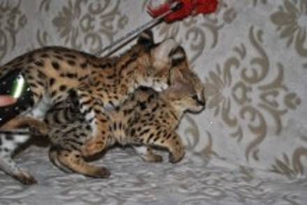 Serval, Savannah, Fennec fox