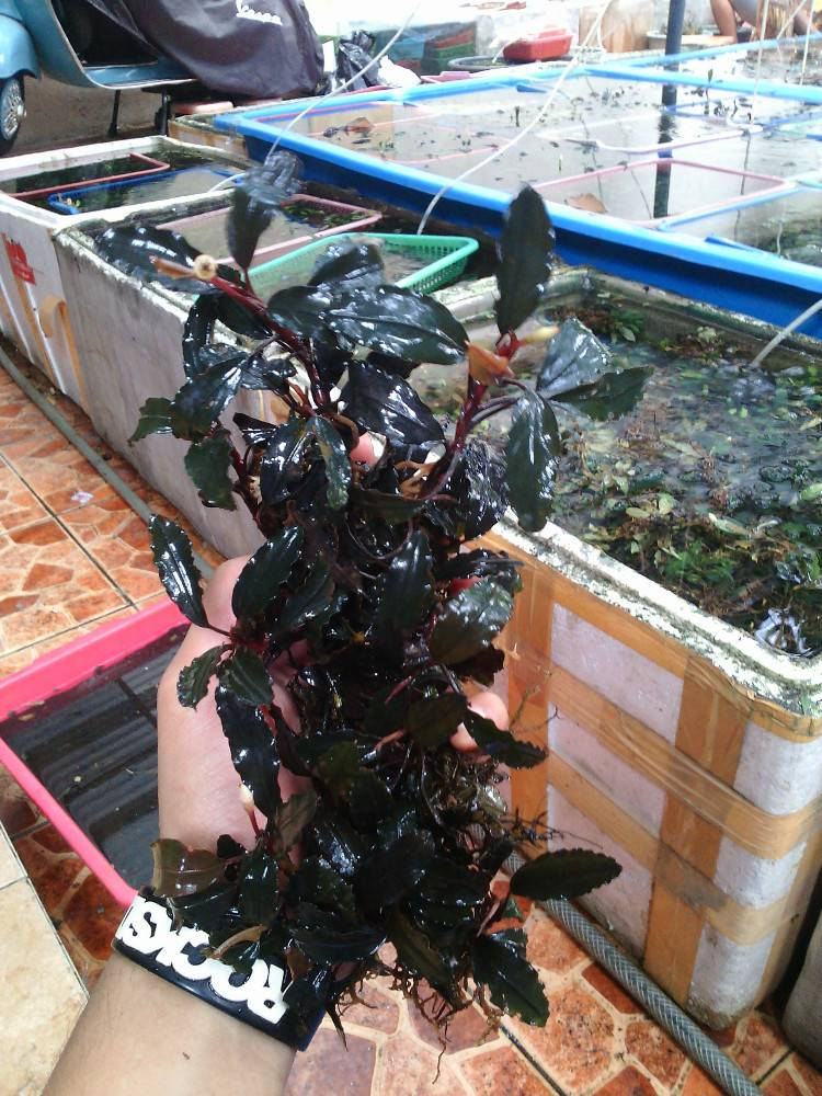 READY CLUMP OF BUCEPHALANDRA SPECIAL DISCOUNT ( LOW COST )