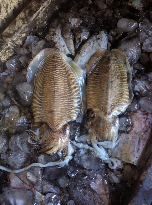 Fresh Cuttlefish Hook Line Catch A+ & AA+