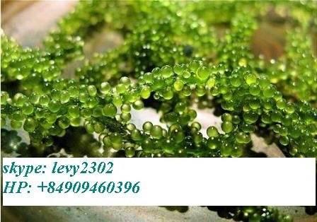 seagrape seaweed