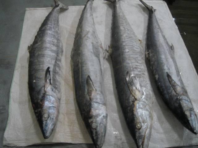 Sell kingfish,Ribbon ,Mackerel other seafish thailand