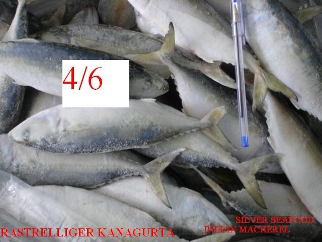 wts:indian mackerel