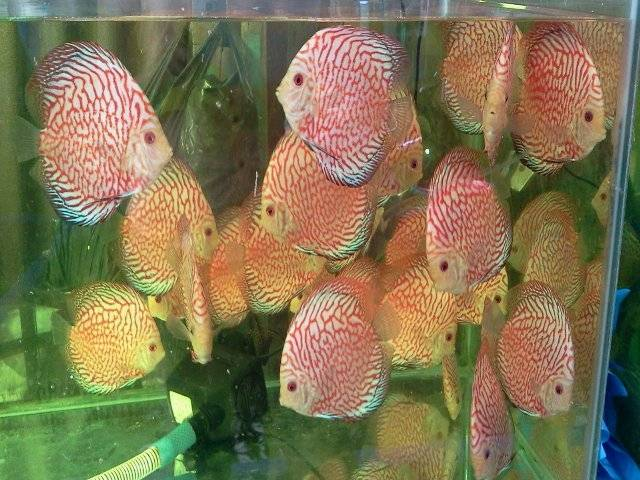 Pigeon Red Discus