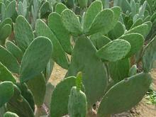 Prickly Pear Cactus P.E.