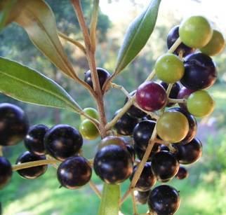 Olea Europaea Extract