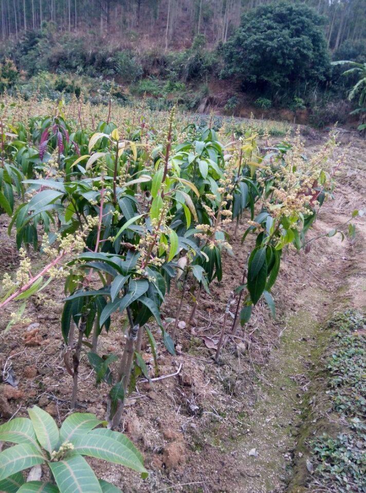 sell mango saplings