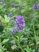 offer alfalfa seeds