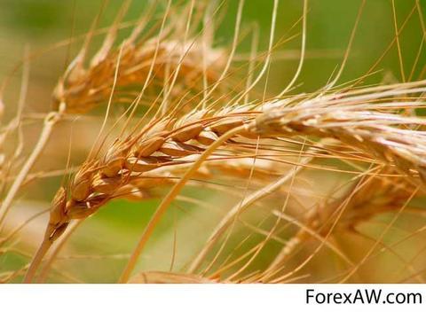 Soft Milling Wheat 11.5 and 12.5% Pro Ukraine Origin 2016 Crop
