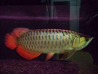 new arival of super red arowana fish and other arowana