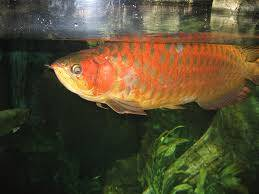 ASian Arowana fishes On Sale In USA,CANADA and Anywhere
