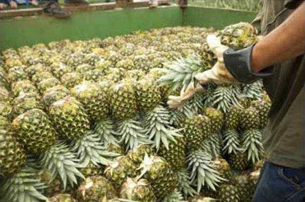 Fresh Pineapple-Famous Fruit from Vietnam