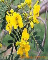 Supply Senna Leaf Powder Extract