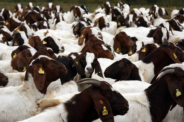 Boer Goats.....