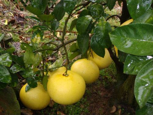 chinese grapefruit