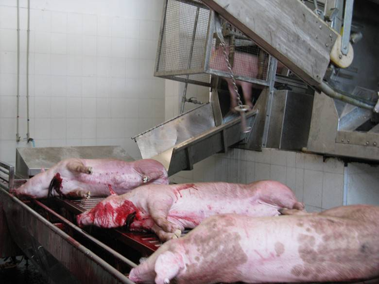 Automatic Pig Abattoir Machine