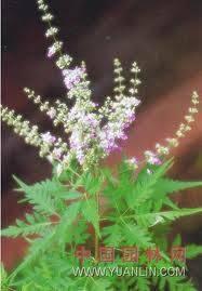 Nirgundi seed oil
