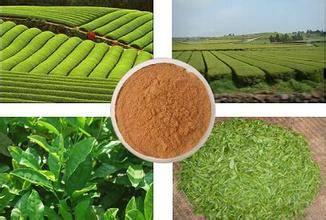 Green Tea Extract GMP factory