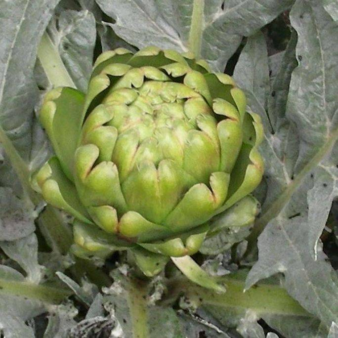 Artichoke Powder Extract