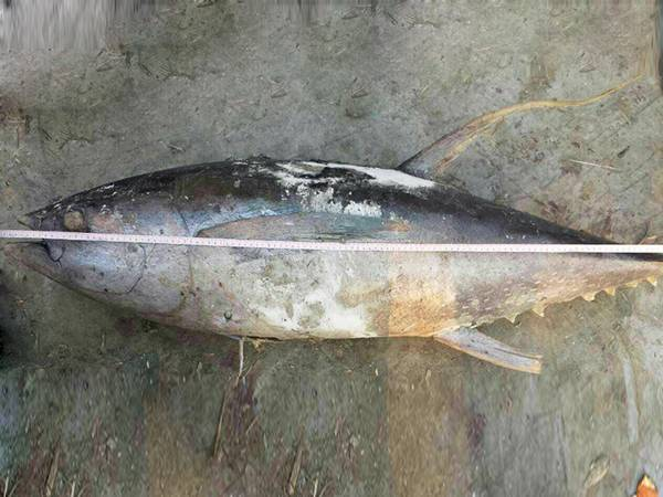frozen yellow fin tuna 3-9kg exports