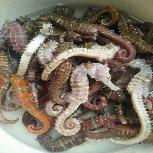 We need import and buy seahorse with much quantity 10 tons