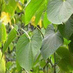 30% Kava Extract
