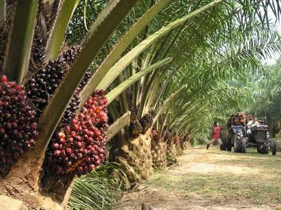 Crude & Refined Palm Oil