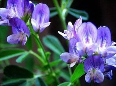 Alfalfa Extract/herb extract/plant extract