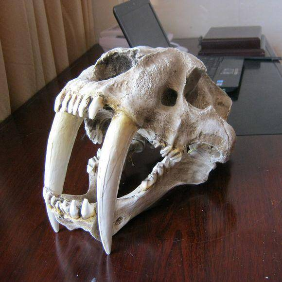 14 Hot 1/1 Saber Tooth Tiger Skull Statue Smilodon Fossil Model Collectible Toy