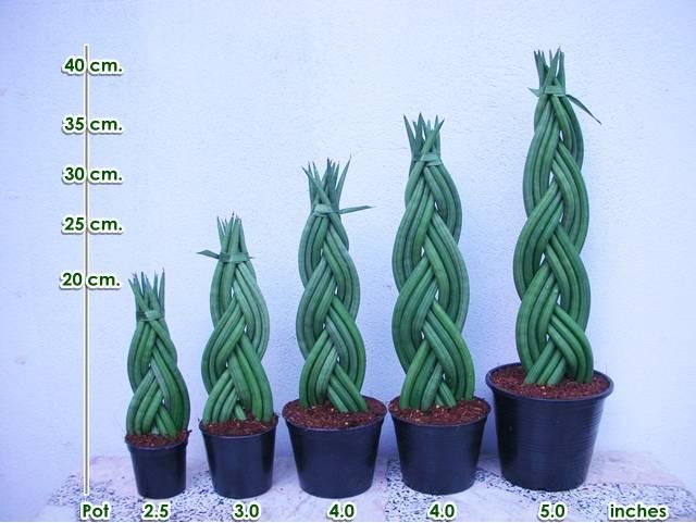 Braided Sansevieria Cylindrica
