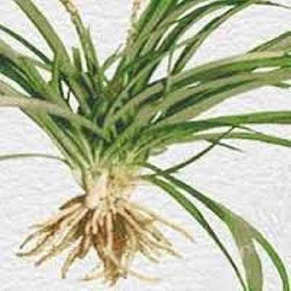 Chlorophytum borivillum - Safed Musli