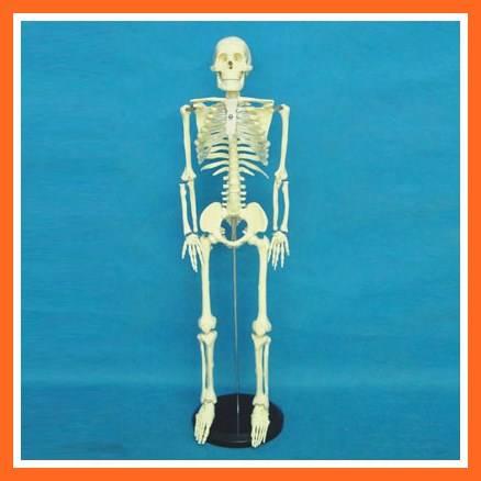R020201 85cm Tall Human Skeleton Medical Teaching Anatomy Model
