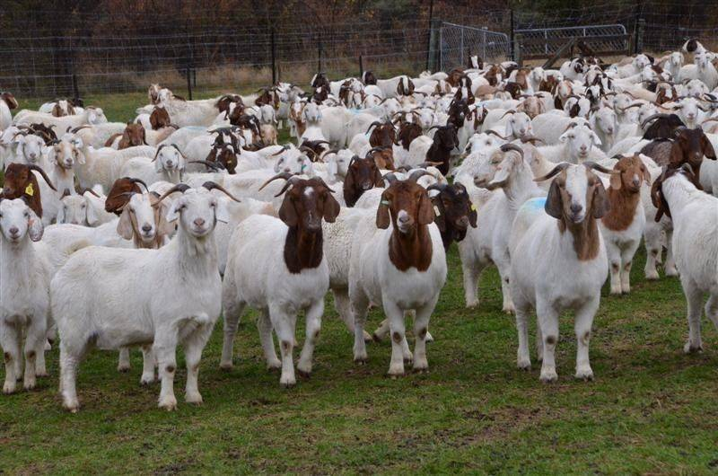 Pure Breed Boer Goats, Live Sheep, Cattle, Lambs and Alive Cows