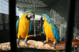 African Grey,Blue and Gold Macaw,Hahns Macaws,Cockatoo,Amazon parrots