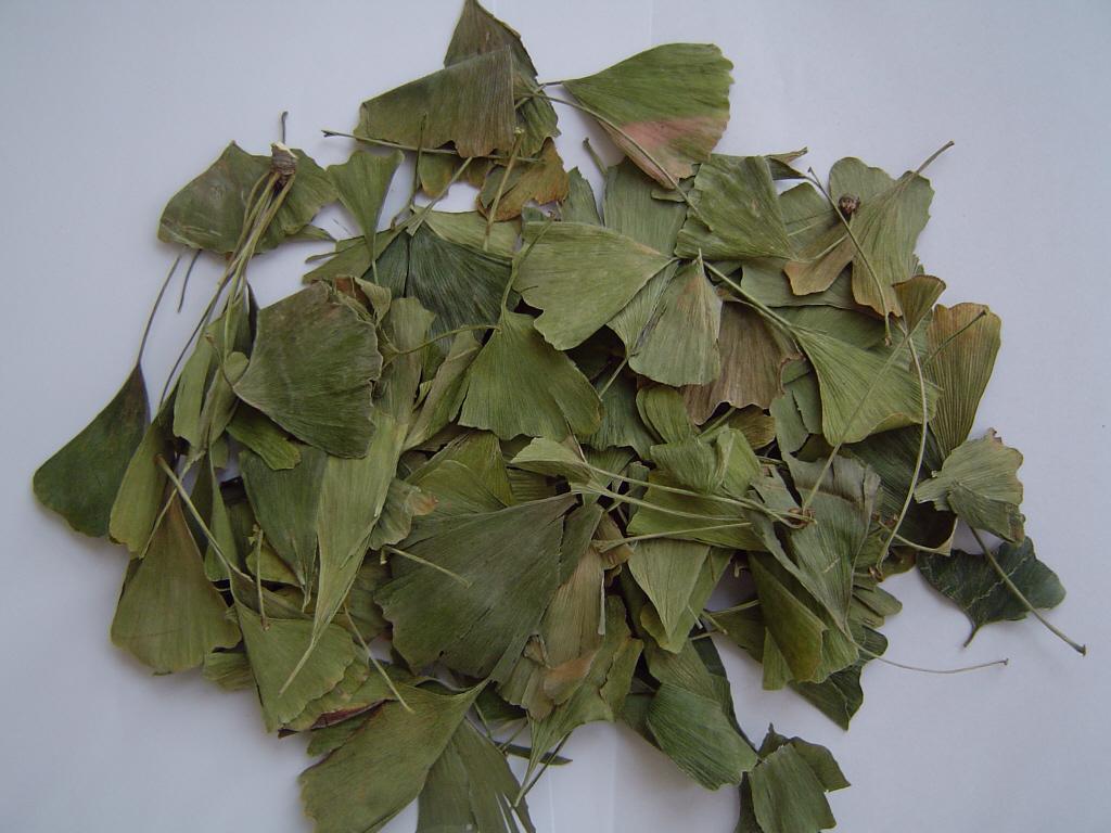 Ginkgo Folium/Ginkgo biloba leaves