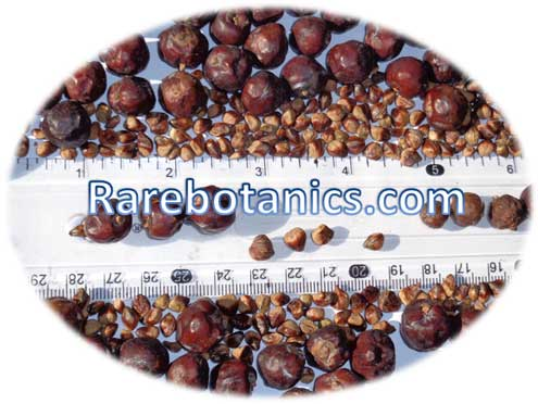Juniperus Communis Seeds