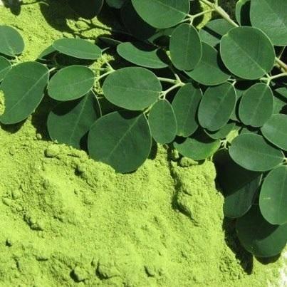 Morinrga leaves powder
