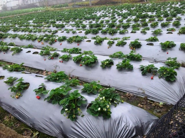 Various agricultural plastic film roles for greenhouse,land use.