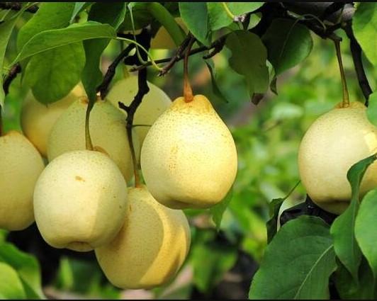 Fresh pear, Ya pear, Su pear, Golden Pear