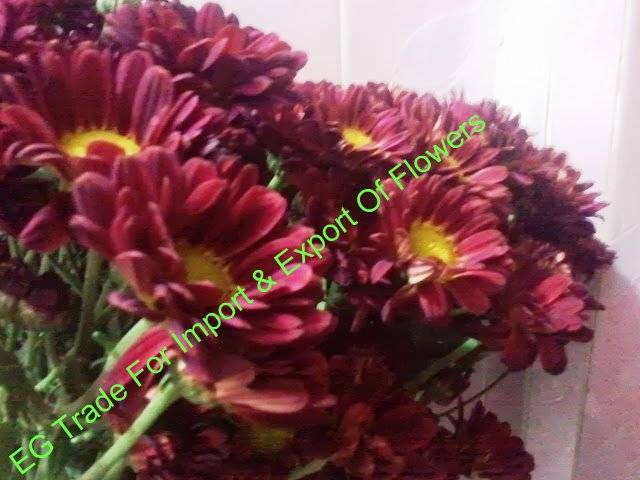fresh cut flower from egypt