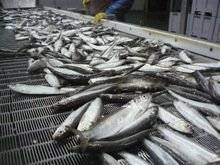 Pollock_Fish_Salmon_Fish_Shrimp_Sole_Fish_Squid_Tilapia_Fish_Tuna_Whiting_Fish_Markerel_Fish.