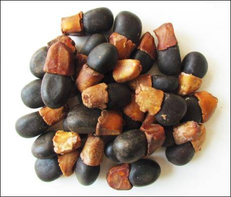 Afzelia xylocarpa Kurz Craib Teak seeds, Black wood, Siamese Rosewood, Rosewood - Agarharvest