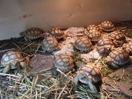 Various Species of Tortoise for Sale