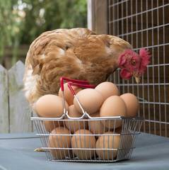Quality White / Brown Chicken Table Eggs In Trays and Cartons