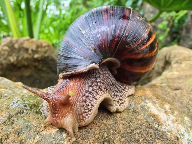 South African sea snails for sale