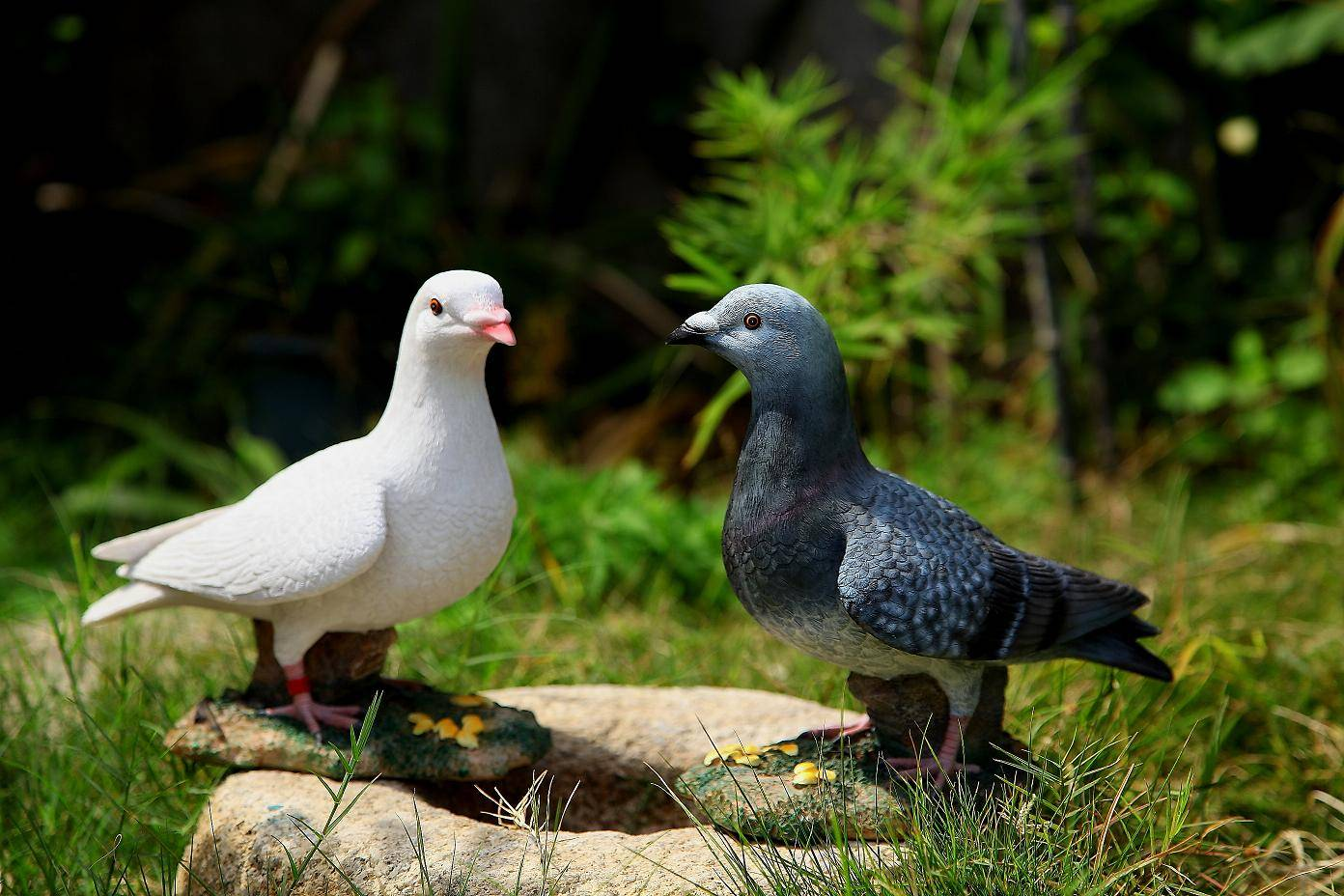 Couples carrier pigeons