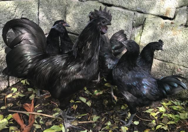 Ayam Cemani Chicken and chicks for Sale